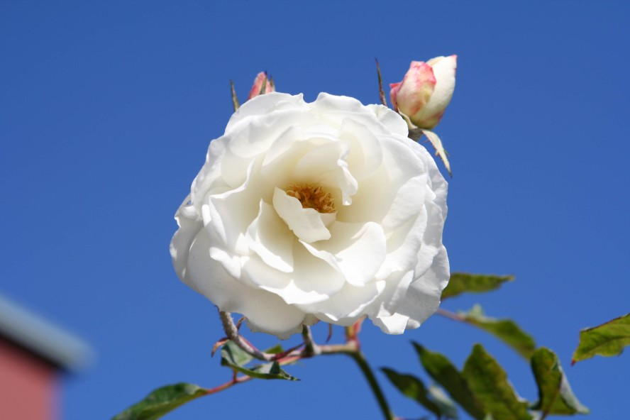 wedding-single-white-rose